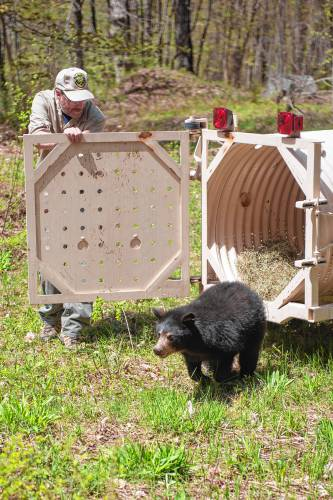 Valley news orphaned bear cubs released in windsor for Vermont fish and wildlife jobs
