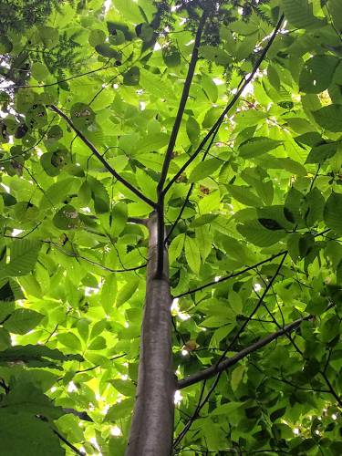 Valley News - Out & About: 16 Chestnut Trees Found in