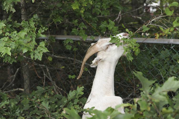 Valley News - Goats help clean up wastewater plant on Cape Cod