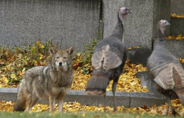 Valley News - Researchers Observe as Eastern Coyotes Become More