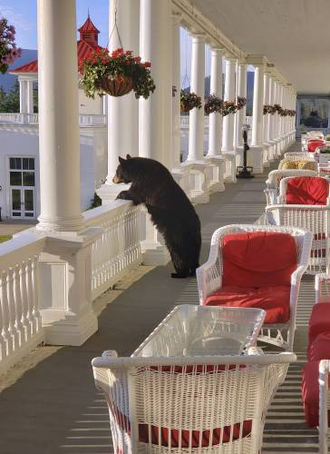 Valley News Photo Shows Black Bear Relaxing At New