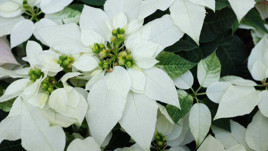 Valley News Hybrid Poinsettias Push Into New Spectrums Of Color