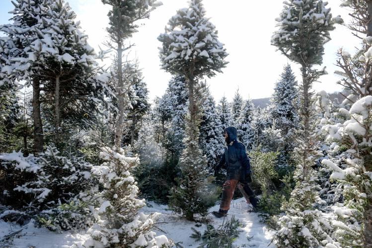 Valley News One Man S Christmas Tree Empire Sprawls Across The Upper Valley