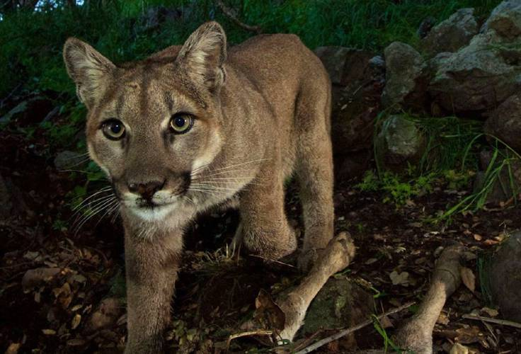Valley news publics fascination with mountain lions strong as ever p 33 a 15 month old mountain lion kitten was photographed with a kill in los angeles santa monica mountains national recreation area spiritdancerdesigns Choice Image
