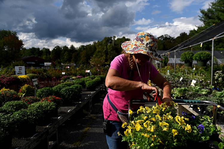 Jackie Rysewyk Deadheads Plants At Longacresu0027 Nursery Center In Lebanon,  N.H., On Sept. 7, 2017. Rysewyk Has Been Working At The Nursery Since  Spring She ...