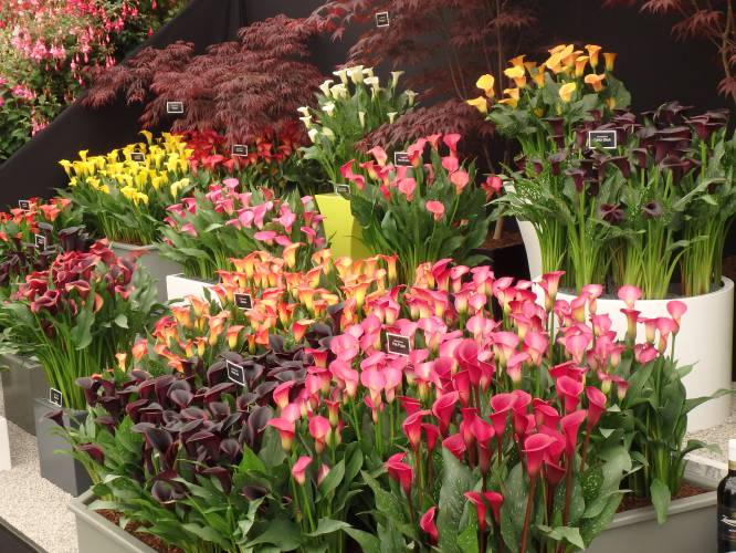 Valley News Put Some Spring In Your Summer With Calla Lilies