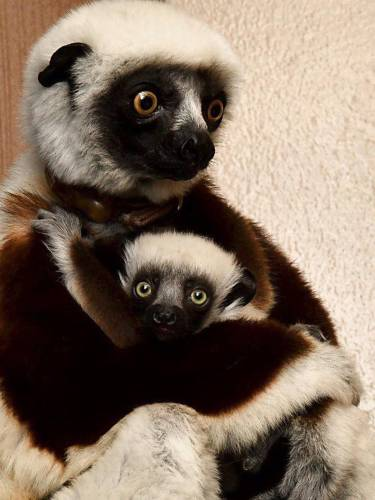 Valley News - Creature Feature: Baby Lemur at Duke Makes Appearance