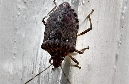 Those bugs in your house right now may not be stinkbugs; even if they do stink