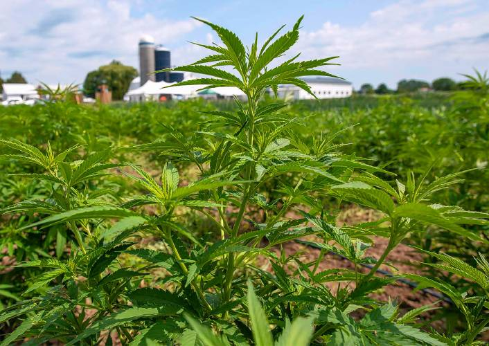 Valley News - Lack of hemp processing capacity in Vermont